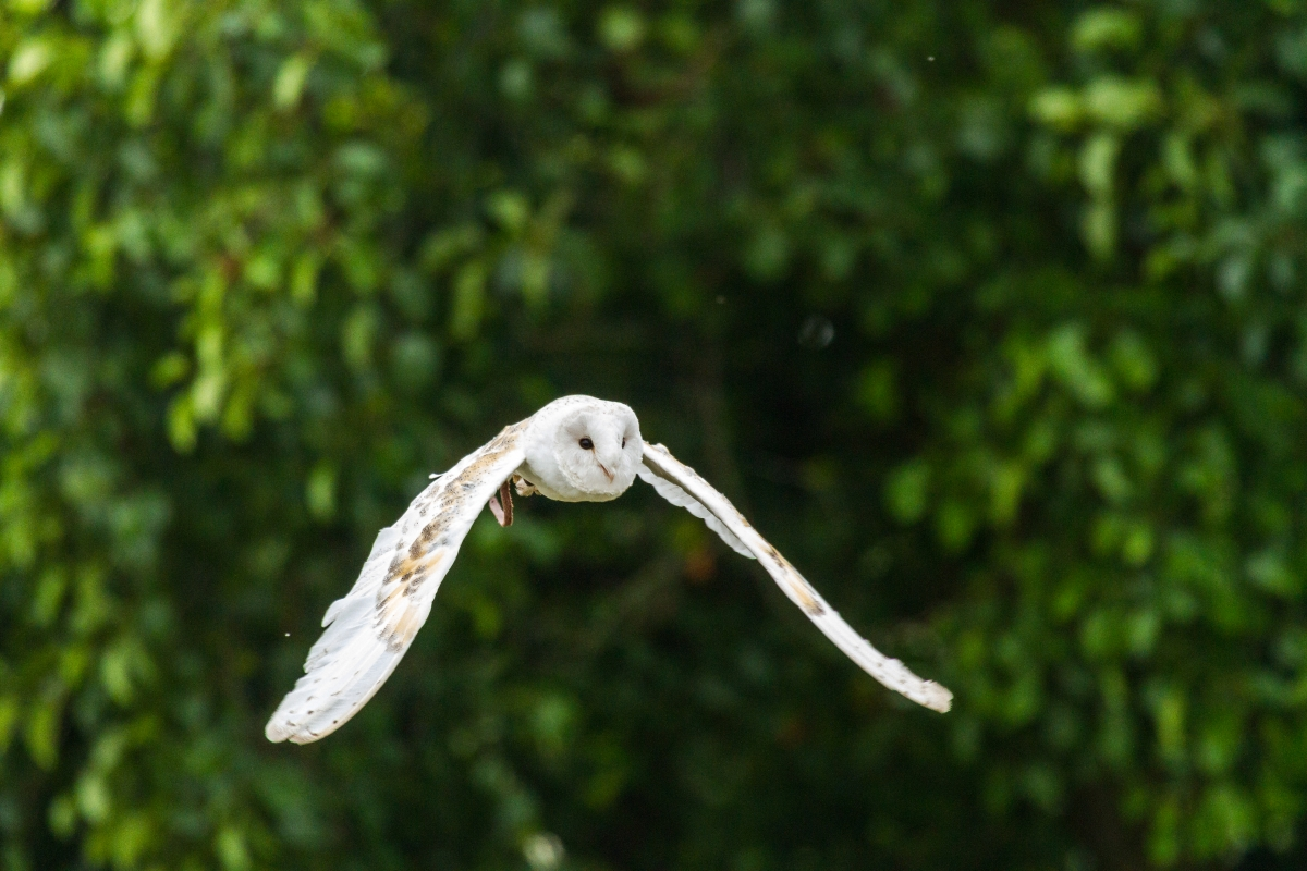'A Barn Owl stretching it's wings' by Kevin Frost